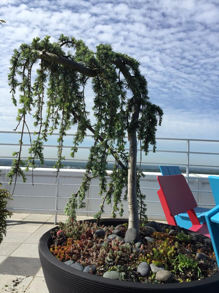 Weeping blue atlas in modern container