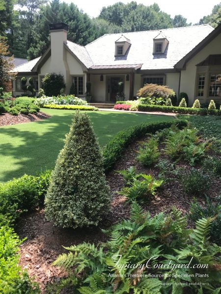 Variegated boxwoods mixed with beautiful Japanese Maple