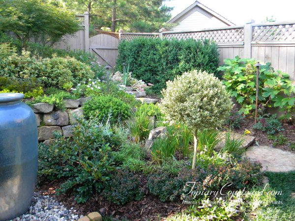 variegated boxwood used as an accent