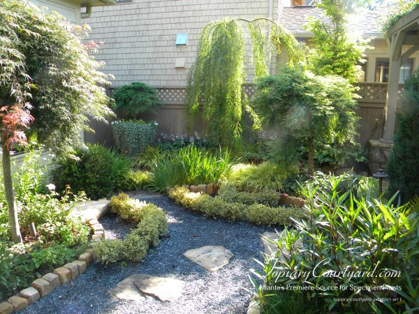 Standard Japanese Maples, with Stanard Microbiota bring depth to this lush garden