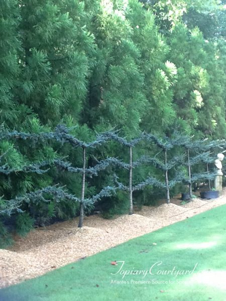 Build a living fence with these beautiful blue atlas espaliers