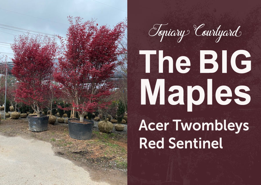 The BIG Maples: Acer Twombleys Red Sentinel