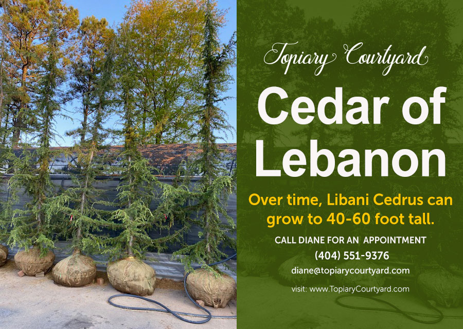 Cedrus Libani, Commonly Called Cedar Of Lebanon
