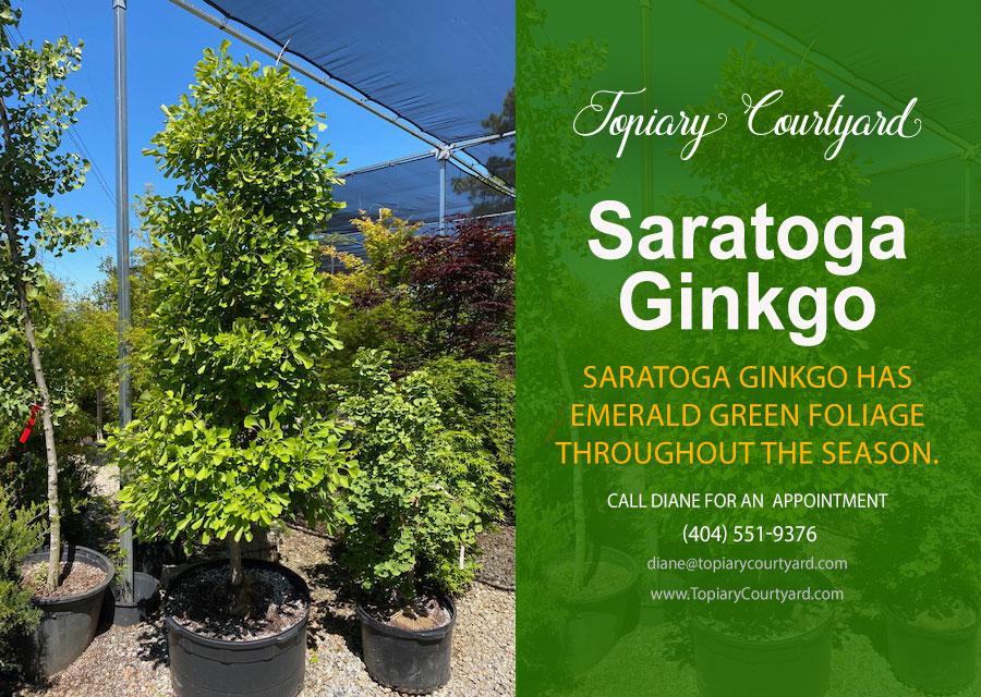 Saratoga Ginkgo has emerald green foliage throughout the season