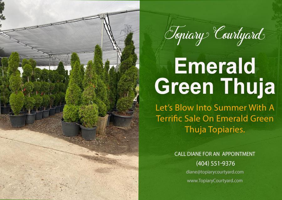 Emerald Green Thuja