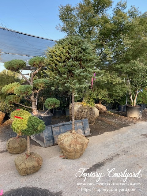 topiary conifer