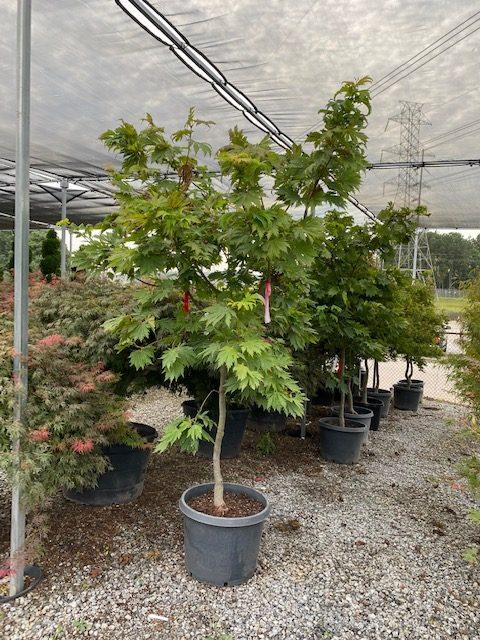 Ed Wood Full Moon Maple Tree 7/8 foot